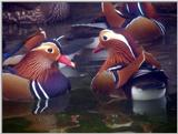 Mandarin Ducks (2/20)  -- 원앙