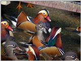 Mandarin Ducks (3/20)  -- 원앙