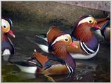 Mandarin Ducks (4/20)  -- 원앙