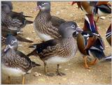 Mandarin Ducks (6/20)  -- 원앙