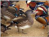 Mandarin Ducks (7/20)  -- 원앙