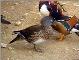 Mandarin Ducks (8/20)  -- 원앙