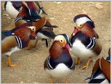 Mandarin Ducks (9/20)  -- 원앙