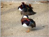 Mandarin Ducks (15/20)  -- 원앙