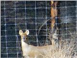 Water Deer from Korea (1/7)