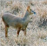 Water Deer from Korea (2/7)