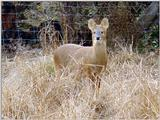 Water Deer from Korea (3/7)