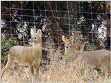 Water Deer from Korea (4/7)