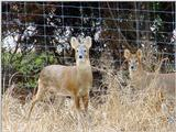 Water Deer from Korea (5/7)