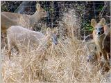 Water Deer from Korea (6/7)