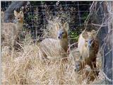 Water Deer from Korea (7/7)