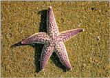 Korean Seastar J01-Northern Pacific Seastar-or-Amur Starfish