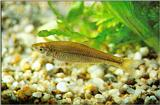 Korean Topmouth Gudgeon J02-freshwater fish