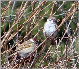 Tree Sparrow from Korea (1/2)