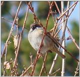 Tree Sparrow from Korea (2/2)