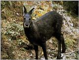 Korean Mammal - Musk Deer