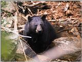 Korean Mammal - Manchurian Black Bear