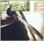 Lady Amherst Pheasant - Lady Amherst's pheasant (Chrysolophus amherstiae)