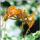 Leaf-cutter Ant J03-mushroom grower-closeup.jpg [1/1] (가위개미)