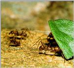 Leaf-cutter Ant J06-workers delivering leaf