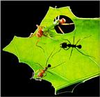 Leaf-cutter Ants J01-working on leaf.jpg [1/1] (가위개미)