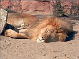 Re: Anyone got any pictures African lions?