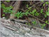Lizard1 (Fence Swift)