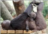 Lowland Gorilla - Mother and Baby Wrestling
