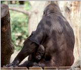 Lowland Gorilla - Baby Playing