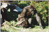 Female lowland gorilla