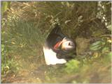 Re: Wanted: Puffin Pictures - puffin3.jpg