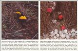Scans from Scientific American - bowerbirds.jpg
