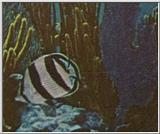 Re: Looking for Caribbean Tropical Fish the more colorful the better - banded butterflyfish.jpg