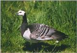 Birds from Holland - barnacle goose.jpg