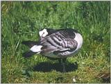 Birds from Holland - barnacle goose2.jpg
