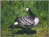 Birds from Holland - barnacle goose3.jpg