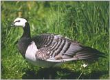 Birds from Holland - barnacle goose4.jpg
