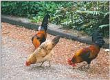 Birds from Holland - cocks and chickens2.jpg