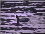 Birds from Europe and the rest of the world - Coot.jpg