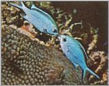Re: Looking for Caribbean Tropical Fish the more colorful the better - blue chromis.jpg