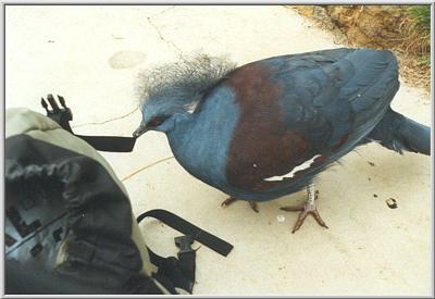 the el paso pigeon