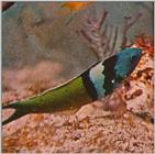Re: Looking for Caribbean Tropical Fish the more colorful the better - bluehead wrasse