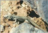 Animals from La Palma - Canary Island Lizard 2.jpg