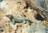 Animals from La Palma - Canary Island Lizard 3.jpg