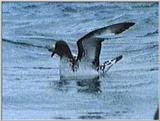 Re: Request: petrels - cape pigeon1.jpg