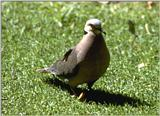 Re: Doves - Cape Turtle Dove