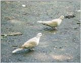Birds from Holland - Collared turtle dove