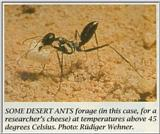 Re: Greetings and salutations to all - desert ant.jpg