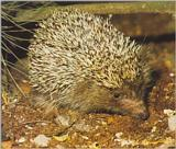 Re: Hedgehogs - egel.jpg -- West European Hedgehog (Erinaceus europaeus)