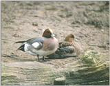 Birds from Holland - Eurasian Wigeon - european wigeons.jpg